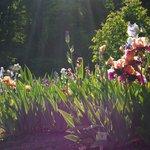 Setting sun ray on blooming iris 3