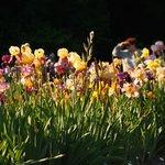 Setting sun ray on blooming iris 2