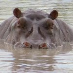 Upper Third of a Hippo