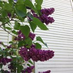 Fragrant lilacs outside our window (room 203)