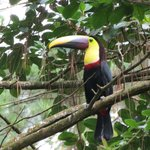 Toucan on morning hike