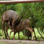 Baby deer getting lunch