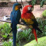 Lots of macaws around the pool