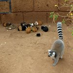 Guinea pigs and Lemur