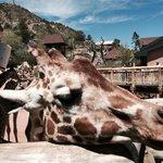 A friendly petable giraffe