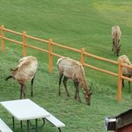 Elk outside out door