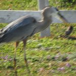 Heron eating a mole