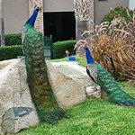Peacocks on Resort
