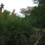The Giraffes came for dinner