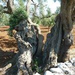 campagne environnante, tronc d'olivier