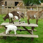 Goats at the Furry Friends Farm