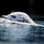 Hvorlænge kan en sæl holde vejret under vand?