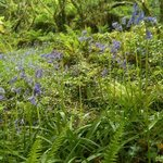 Golitha Falls Bluebells in May