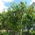 Lemon tree in grounds