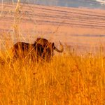 Black Wildebeest or white-tailed gnu is one of the two closely related wildeb