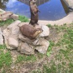 Otters during feeding time!