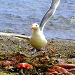 Seagull eating a dead octopus.