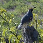 Picture of Quail taken along the dirt road driveway to our casita.
