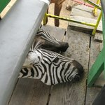 Animal cahoots - camel knocks over food bowl, zebras get breakfast.