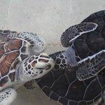 Medium sized sea turtles.
