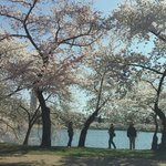 Cherry Blossoms in Bloom Along the Tidal Basin