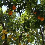 Lemons and oranges in the garden