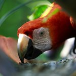 Scarlet Macaw eating seeds