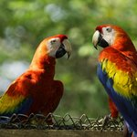 A couple of Scarlet Macaws