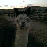 nice alpaca