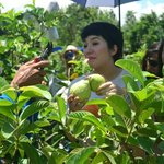 Ms. Kris Aquino goes guapple picking!