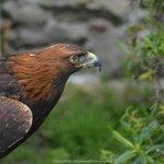 Eagle at Dunrobin Castle falconry display (Gary Bruce)