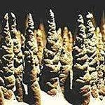 Zoom : Les cent mille Soldats - Un phénomène unique et inexpliqué - Grotte de Trabuc