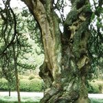 Very old tree of gardens