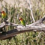 Love Birds Ndutu Lodge