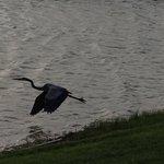 Resident pelican 1
