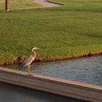 Resident pelican 2