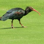 Black ibis on the golfcourse