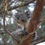 koala in tree near reception