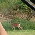 roaming deer