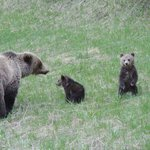 Bear with 2 cubs