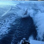 """A dolphin """"surfs"""" in the wake of Cougar One"""