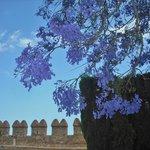 Mimose, auch Palisanderbaum genannt.