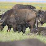 Buffalo with new calf