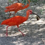 White and scarlet ibis