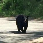 Bob the bear!