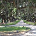 oak lined drive