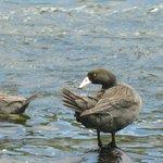 Blue Ducks - Manganui o te Ao river