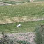 The famous white cows - Chianina, the Tuscan breed