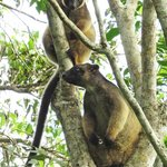 Mother tree kangaroo and her baby
