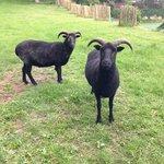 Hebredian Sheep in the Hillside Garden